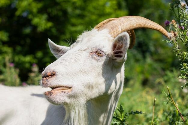 農場で飼育されている国内ヤギ