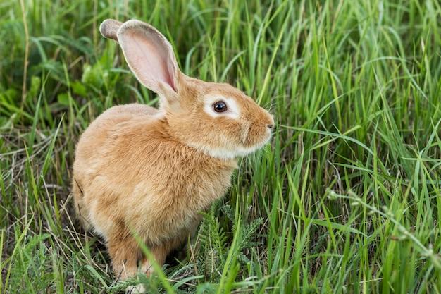 農場でクローズアップ国内ウサギ