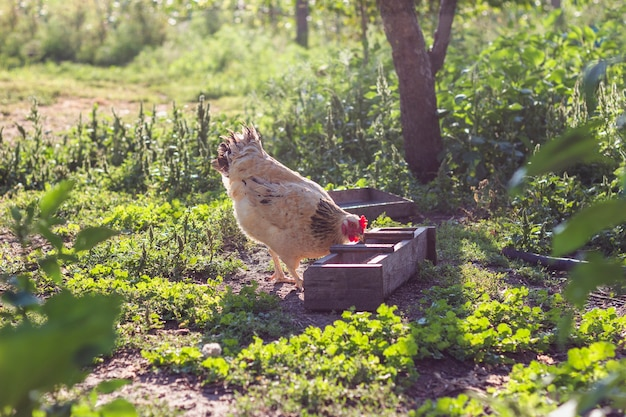 Домашняя курица ест зерно