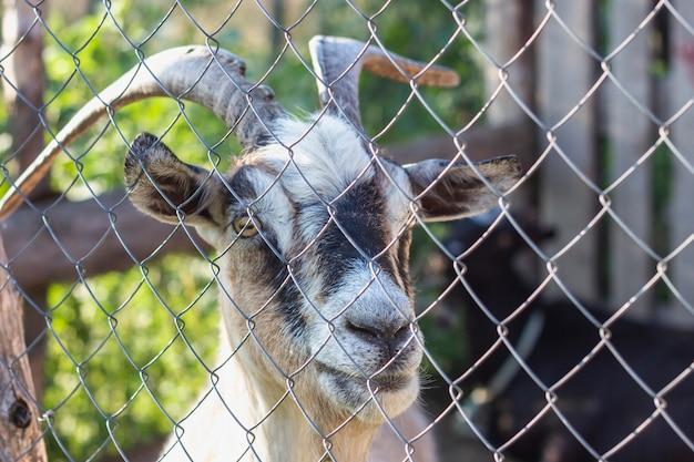 ゲートで折り畳まれた農場でヤギ