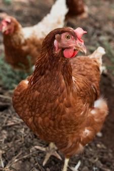 小屋で食べ物を探している鶏
