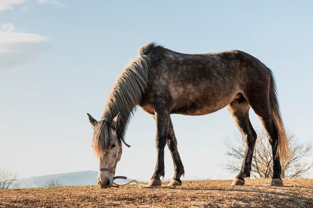 牧草地で食べる馬