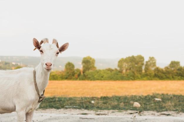 カメラ目線の肖像画のヤギ