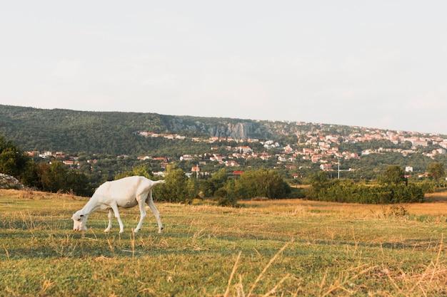 Молодой козел ест траву на лугу