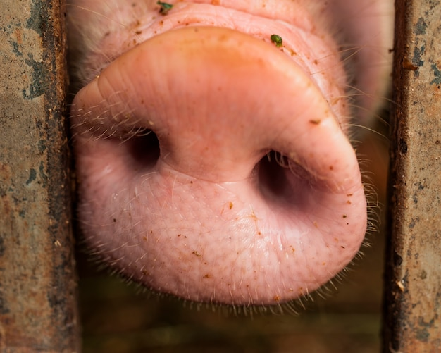 Свинья нос между металлическими прутьями