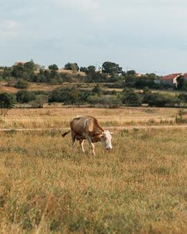 田舎のフィールドの上を歩いて孤独な明るい茶色の牛