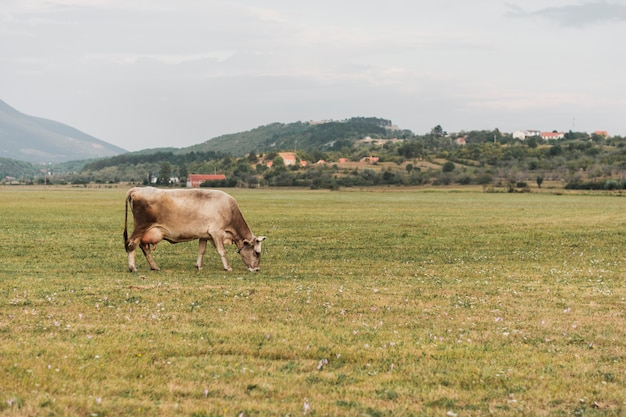 Одинокая корова пасется в поле