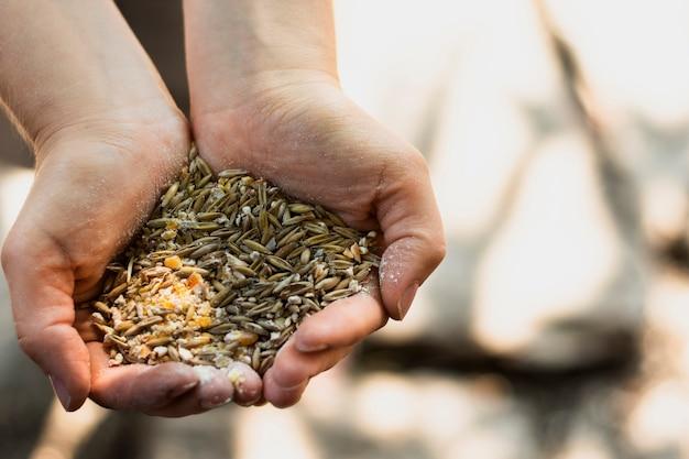Человек держит в руках кучу семян пшеницы