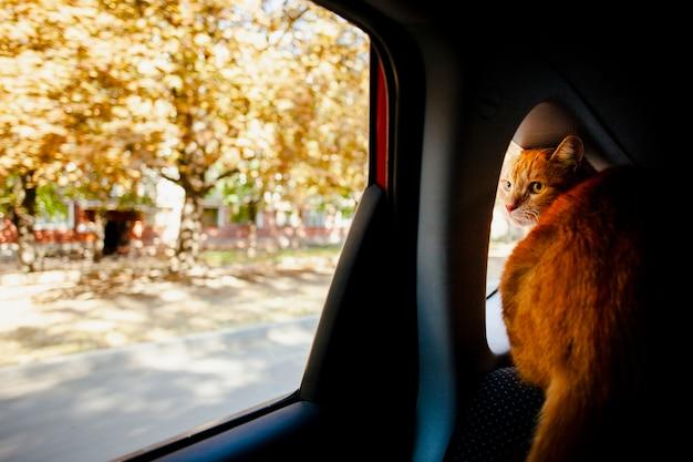 窓の車から外を見て猫