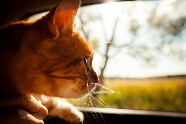 Крупным планом очаровательны кота, глядя на окно автомобиля