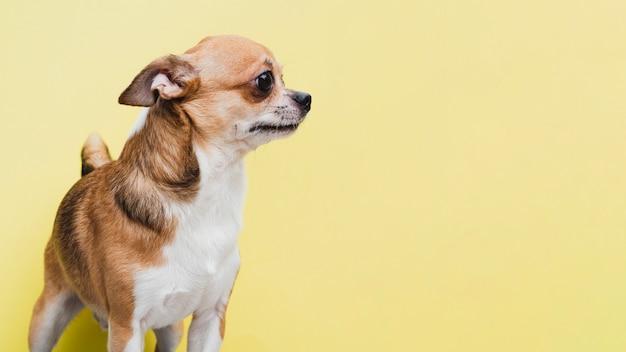 Вид сбоку маленькая домашняя собака ждет