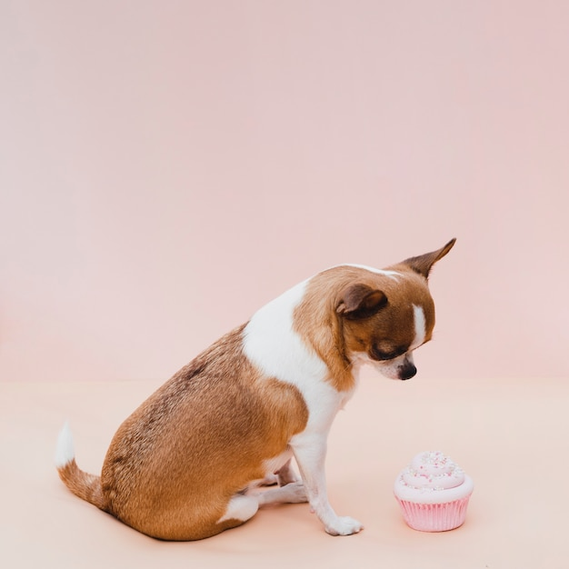 ピンクのカップケーキと座っているかわいいチワワ