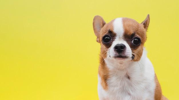 黄色の背景に正面の子犬