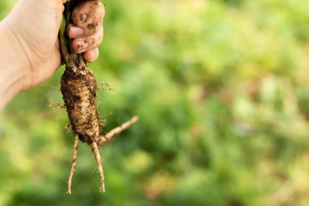 野菜の根を持っている手