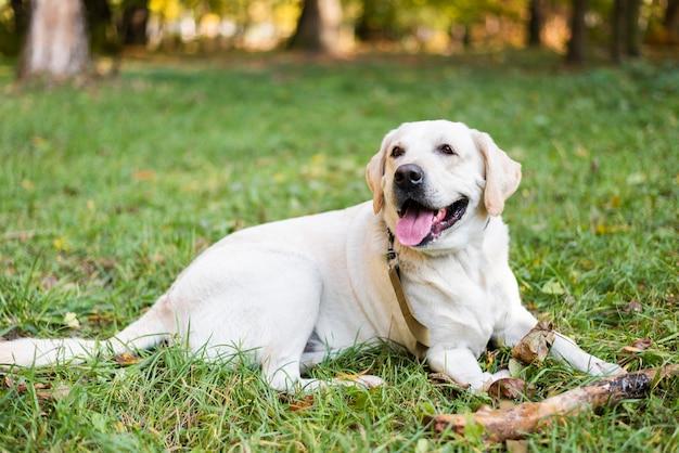 草の上に座ってかわいいラブラドールの肖像画