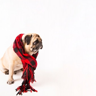 Милый мопс сидит с клетчатым шарфом