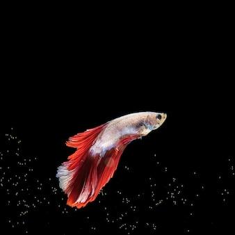 黒い表面で泳ぐ「ハーフムーン」ベタの魚