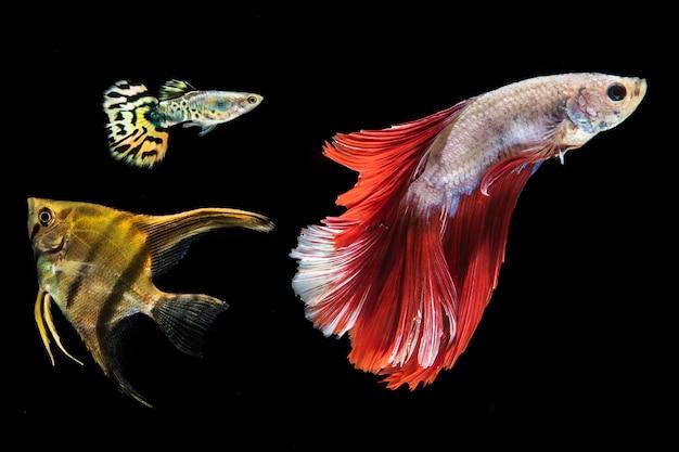 美しいベタ魚分離黒背景