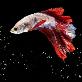 Крупным планом бетта рыба с платьем в окружении пузырьков