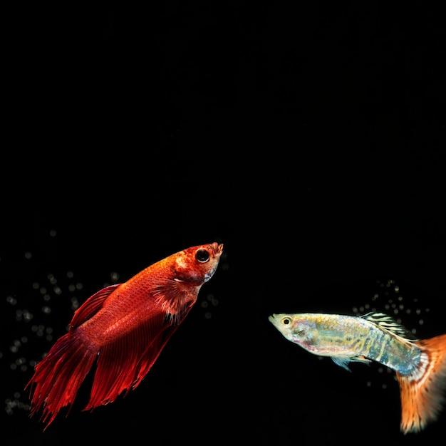 Маленькая рыба бетта с копией пространства