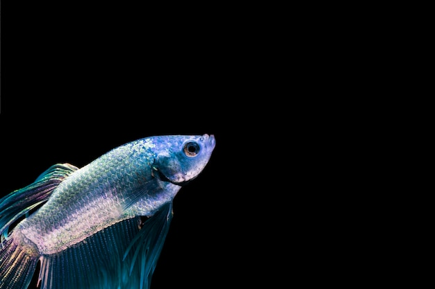 コピースペースを持つ青いベタの魚