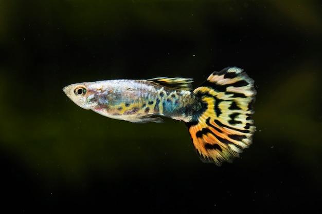 「ハーフムーン」ベタ魚が横に泳ぐ