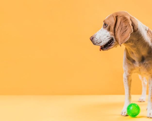 Великолепная собака смотрит в сторону с копией пространства