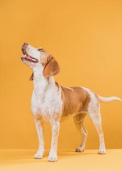 Счастливая собака стоит перед желтой стеной