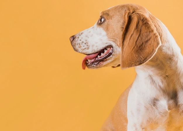 Собака оглядывается назад и высунув язык