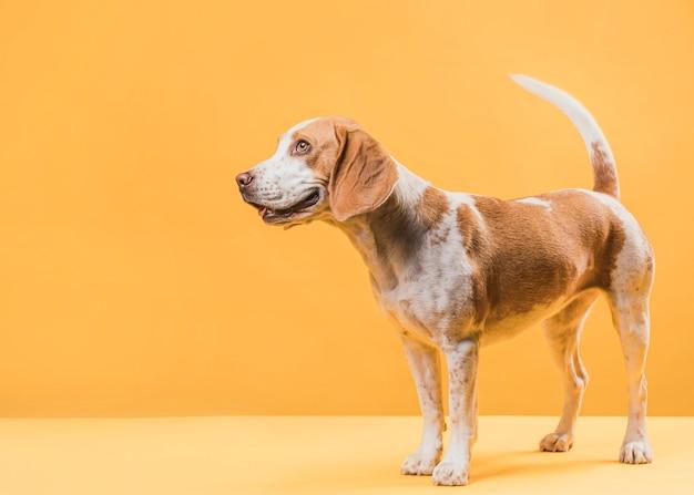 Красивая собака стоит перед желтой стеной