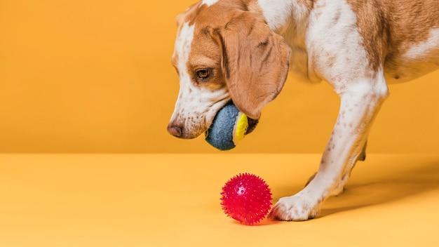 Милая собака играет с маленькими резиновыми шариками