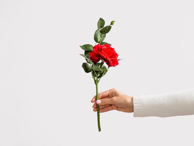 バラを持っている手のスタジオ撮影