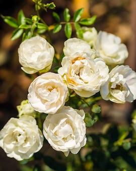 Красивые цветущие белые розы в саду