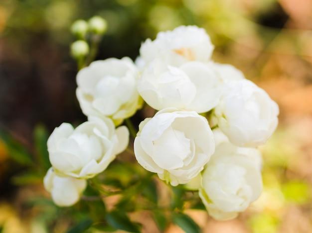 咲く白いバラの花束
