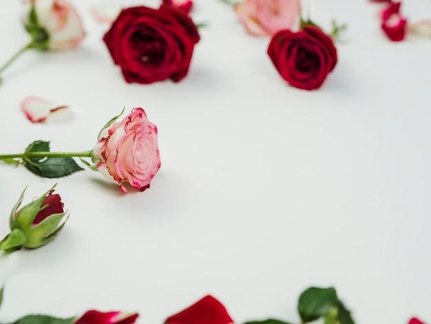 無地の背景に美しいバラの花