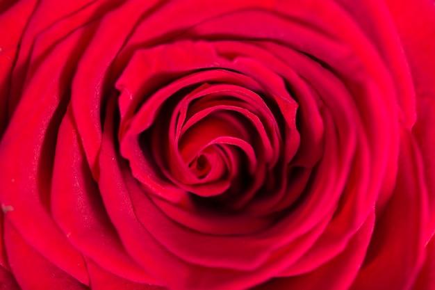 Макро красивая красная роза