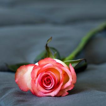 クローズアップの美しいバラの花びら