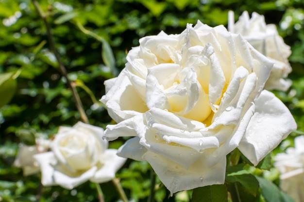 Крупным планом красивые белые лепестки роз