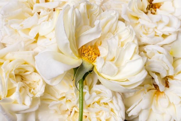 クローズアップの美しい白いバラ