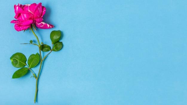 Крупным планом розовая роза с копией пространства