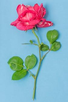 Макро розовая роза с зелеными листьями