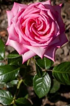 クローズアップピンクのバラの花びらの概念