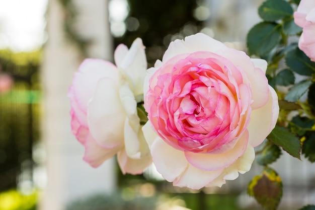 クローズアップの白とピンクのバラの花びら