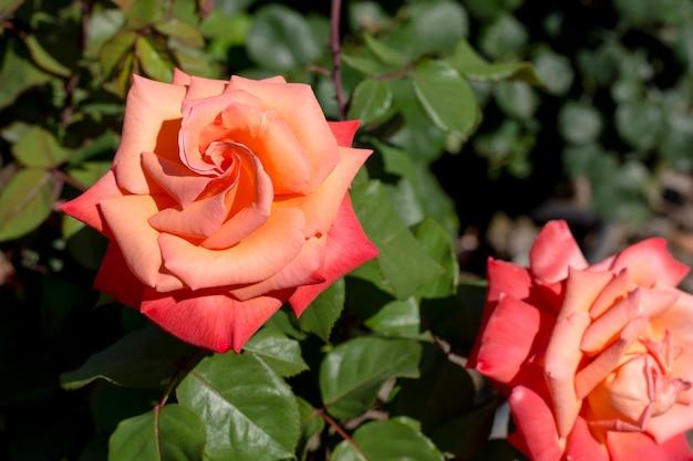 クローズアップ美しいオレンジ色のバラ屋外