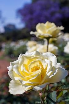 Крупный букет белых роз на открытом воздухе