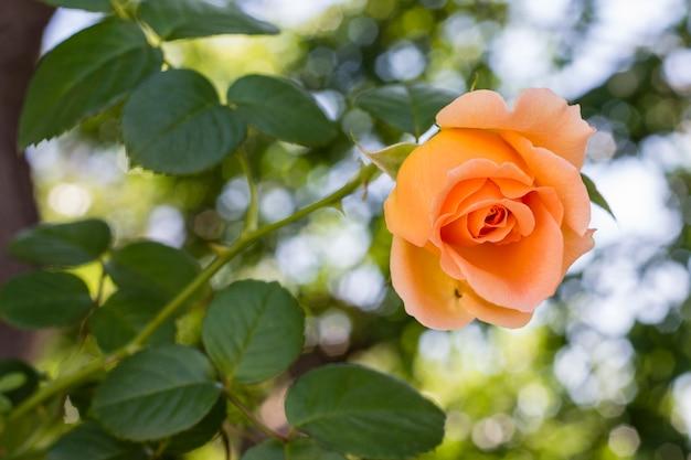 Макро довольно оранжевая роза с зелеными листьями