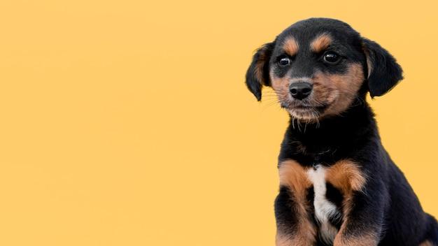 Копия пространство милая собака на желтом фоне