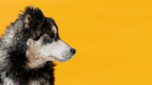 黄色の背景に目をそむけるサイドビュー犬