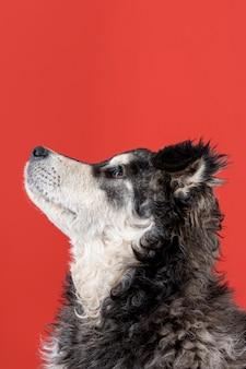赤い背景の上を見上げている犬
