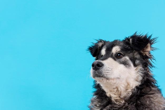 Вид сбоку пушистая собака на синем фоне